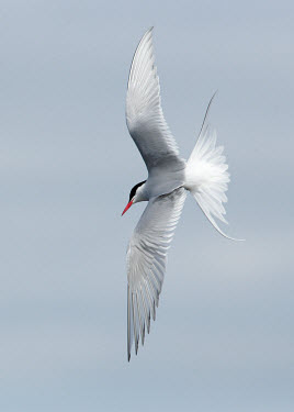 Arctic tern - UK Sea,seas,Sky,Capped,cap,in-air,in flight,flight,in-flight,flap,Flying,fly,in air,flapping,markings,marking,action,movement,move,Moving,in action,in motion,motion,environment,ecosystem,Habitat,Aquatic,