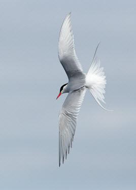 Arctic tern - UK Sea,seas,Sky,Capped,cap,in-air,in flight,flight,in-flight,flap,Flying,fly,in air,flapping,markings,marking,action,movement,move,Moving,in action,in motion,motion,environment,ecosystem,Habitat,Aquatic,
