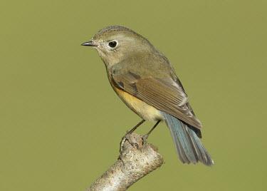 Orange-flanked bush-robin - UK Orange-flanked bush-robin,Tarsiger cyanurus,Birds,Little birds,Chordates,Chordata,Aves,Perching Birds,Passeriformes,Old World Flycatchers,Muscicapidae,Red-flanked bluetail,Sub-tropical,Europe,Forest,T