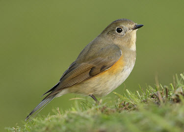 Orange-flanked bush-robin - UK blur,selective focus,blurry,depth of field,Shallow focus,blurred,soft focus,Green background,Perching,perched,perch,Orange-flanked bush-robin,Tarsiger cyanurus,Birds,Little birds,Chordates,Chordata,Av