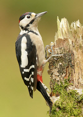 Great-spotted woodpecker - UK Greenery,foliage,vegetation,face,coloration,Colouration,Black and White,black + white,monochrome,black & white,forests,Forest,blur,selective focus,blurry,depth of field,Shallow focus,blurred,soft focu