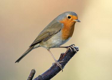 Robin - UK environment,ecosystem,Habitat,blur,selective focus,blurry,depth of field,Shallow focus,blurred,soft focus,coloration,Colouration,Perching,perched,perch,colours,color,colors,Colour,orange,peach,gardens