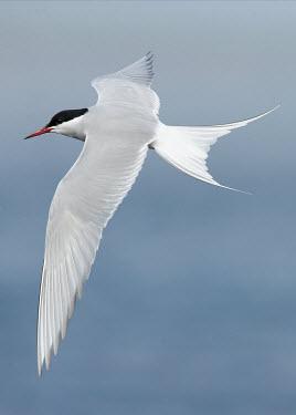Arctic tern - UK bird,birds,seabird,sea bird,Arctic tern,Sterna paradisaea,Birds,Seabirds,Ciconiiformes,Herons Ibises Storks and Vultures,Chordates,Chordata,Charadriiformes,Shorebirds and Terns,Aves,Laridae,Gulls, Ter