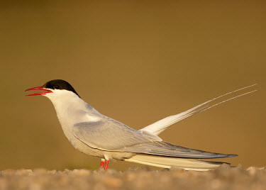 Arctic tern - UK Bill,bills,Mouth,mouthpart,mouths,mouthparts,blur,selective focus,blurry,depth of field,Shallow focus,blurred,soft focus,face,bird,birds,seabird,sea bird,Arctic tern,Sterna paradisaea,Birds,Seabirds,C