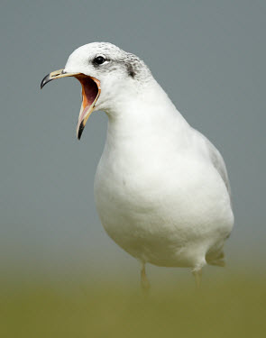 Mediterranean gull - UK Vocalisation,speaking,vocalization,talking,vocalising,auditory,Mouth,mouthpart,mouths,mouthparts,Portrait,face picture,face shot,face,communication,Communicating,Close up,coast,Coastal,coast line,coas