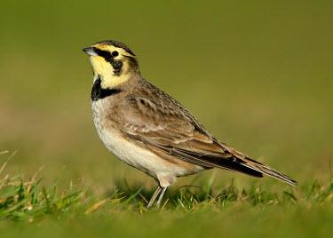 Horned lark - UK Horned lark,Shore lark,Animalia,Chordata,Aves,Passeriformes,Alaudidae,Eremophila alpestris,Birds,Little birds