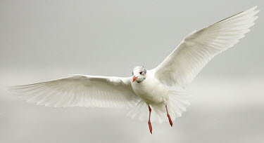 Mediterranean gull - UK coast,Coastal,coast line,coastline,action,movement,move,Moving,in action,in motion,motion,in-air,in flight,flight,in-flight,flap,Flying,fly,in air,flapping,Aquatic,water,water body,environment,ecosyst