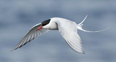 Arctic tern - UK Sea,seas,Aquatic,water,water body,saltwater,Marine,saline,in-air,in flight,flight,in-flight,flap,Flying,fly,in air,flapping,markings,marking,Sky,environment,ecosystem,Habitat,action,movement,move,Movi
