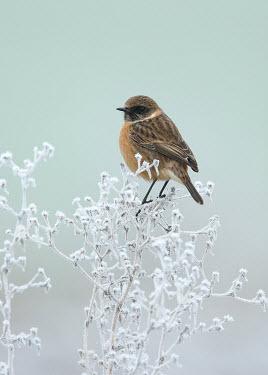 Common stonechat - UK wintery,cold,Winter,Close up,Perching,perched,perch,blur,selective focus,blurry,depth of field,Shallow focus,blurred,soft focus,chilly,Cold,snowy,Snow,Common stonechat,Saxicola torquatus,Birds,Little
