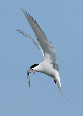 Arctic tern - UK blur,selective focus,blurry,depth of field,Shallow focus,blurred,soft focus,environment,ecosystem,Habitat,Aquatic,water,water body,coast,Coastal,coast line,coastline,in-air,in flight,flight,in-flight,