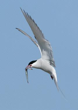 Arctic tern - UK blur,selective focus,blurry,depth of field,Shallow focus,blurred,soft focus,environment,ecosystem,Habitat,Aquatic,water,water body,coast,Coastal,coast line,coastline,in-air,in flight,flight,in-flight,