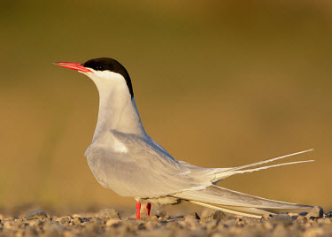 Arctic tern - UK Mouth,mouthpart,mouths,mouthparts,Bill,bills,coloration,Colouration,face,markings,marking,Capped,cap,blur,selective focus,blurry,depth of field,Shallow focus,blurred,soft focus,bird,birds,seabird,sea