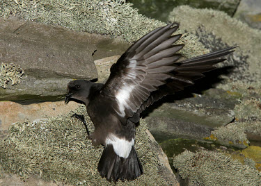 European storm-petrel - UK nests,nesting,Nest,coast,Coastal,coast line,coastline,sea cliffs,Sea cliff,coastal cliff,cliffs,cliff,stones,gravelly,Rock,pebble,stone,stony,rocky,gravel,pebbles,rocks,bird,birds,seabird,sea bird,Eur
