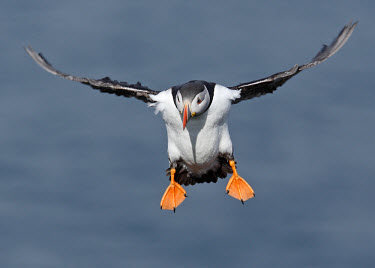 Puffin - UK coast,Coastal,coast line,coastline,in-air,in flight,flight,in-flight,flap,Flying,fly,in air,flapping,sea cliffs,Sea cliff,coastal cliff,cliffs,cliff,environment,ecosystem,Habitat,orange,peach,colours,