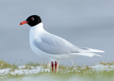 Mediterranean gull - UK hood,Hooded,markings,marking,Capped,cap,Portrait,face picture,face shot,coloration,Colouration,bird,birds,seabird,sea bird,Mediterranean gull,Larus melanocephalus,Birds,Seabirds,Laridae,Gulls, Terns,A