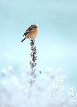 Common stonechat - UK Perching,perched,perch,wintery,cold,Winter,Close up,chilly,Cold,snowy,Snow,blur,selective focus,blurry,depth of field,Shallow focus,blurred,soft focus,Common stonechat,Saxicola torquatus,Birds,Little