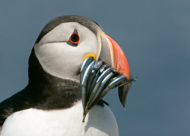 Puffin - UK bird,birds,seabird,sea bird,Puffin,Fratercula arctica,Birds,Seabirds,Ciconiiformes,Herons Ibises Storks and Vultures,Alcidae,Auks, Murres, Puffins,Aves,Chordates,Chordata,Charadriiformes,Shorebirds an