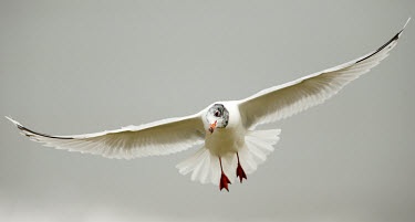 Mediterranean gull - UK bird,birds,seabird,sea bird,Mediterranean gull,Larus melanocephalus,Birds,Seabirds,Laridae,Gulls, Terns,Aves,Charadriiformes,Shorebirds and Terns,Chordates,Chordata,Mouette m�lanoc�phale,Larus,melanoc