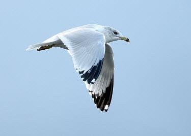 Ring-billed gull - UK bird,birds,seabird,sea bird,Ring-billed gull,Larus delawarensis,Birds,Seabirds