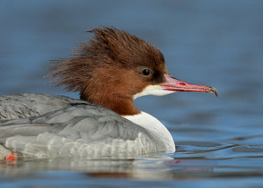 Common merganser - UK environment,ecosystem,Habitat,Lake,lakes,fresh water,Freshwater,crests,Crest,feathers,Feather,blur,selective focus,blurry,depth of field,Shallow focus,blurred,soft focus,Aquatic,water,water body,Commo