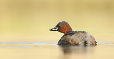 Little grebe - UK Little grebe,Tachybaptus ruficollis,Birds,Swans,Ducks & Geese,Swans, Ducks & Geese,Aves,Podicipedidae,Grebes,Ciconiiformes,Herons Ibises Storks and Vultures,Chordates,Chordata,Podicipediformes,dabchic