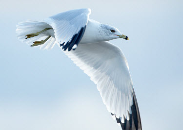 Ring-billed gull - UK in-air,in flight,flight,in-flight,flap,Flying,fly,in air,flapping,coast,Coastal,coast line,coastline,action,movement,move,Moving,in action,in motion,motion,nothing,plain background,nothing in backgrou