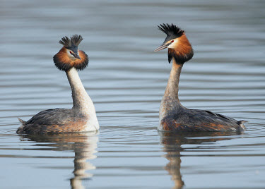 Great crested grebe - UK blur,selective focus,blurry,depth of field,Shallow focus,blurred,soft focus,environment,ecosystem,Habitat,feathers,Feather,fresh water,Freshwater,crests,Crest,Lake,lakes,Aquatic,water,water body,Great