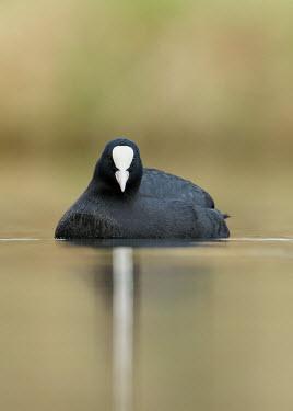 Coot - UK Coot,Fulica atra,Birds,Swans,Ducks & Geese,Swans, Ducks & Geese,Aves,Rallidae,Coots, Rails, Waterhens,Chordates,Chordata,Gruiformes,Rails and Cranes,Foulque macroule,Wetlands,Fulica,Omnivorous,atra,Eu