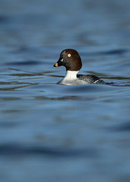 Goldeneye - UK Aquatic,water,water body,environment,ecosystem,Habitat,eye colour,Lake,lakes,Yellow,Yellow eyes,face,eyes,Eye,Goldeneye,Bucephala clangula,Birds,Swans,Ducks & Geese,Swans, Ducks & Geese,Waterfowl,Anse