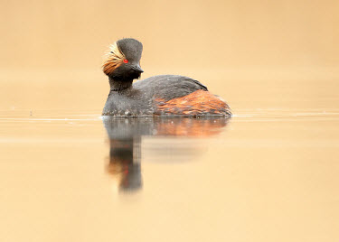 Black-necked grebe - UK Lake,lakes,eyes,Eye,Red,Red eyes,face,environment,ecosystem,Habitat,water,Aquatic,water body,fresh water,Freshwater,blur,selective focus,blurry,depth of field,Shallow focus,blurred,soft focus,Orange b
