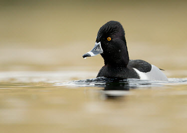 Ring-necked duck - UK blur,selective focus,blurry,depth of field,Shallow focus,blurred,soft focus,environment,ecosystem,Habitat,Lake,lakes,Aquatic,water,water body,Wetland,mire,muskeg,peatland,bog,Portrait,face picture,fac