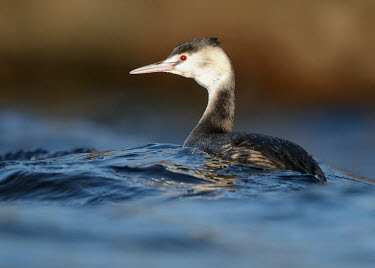 Great crested grebe - UK face,eyes,Eye,Red,Red eyes,Lake,lakes,environment,ecosystem,Habitat,blur,selective focus,blurry,depth of field,Shallow focus,blurred,soft focus,eye colour,Aquatic,water,water body,fresh water,Freshwat
