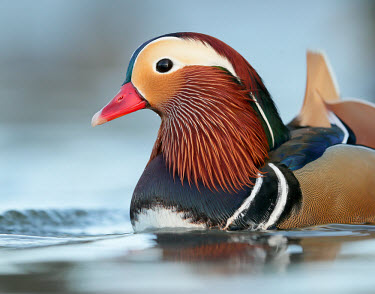 Mandarin - UK Mandarin Duck,Mandarin,Animalia,Chordata,Aves,Anseriformes,Anatidae,Aix galericulata,Birds,Swans,Ducks & Geese,Swans, Ducks & Geese,Waterfowl,Chordates,Ducks, Geese, Swans