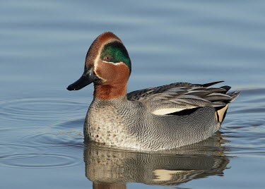 Teal - UK Teal,Anas crecca,Birds,Swans,Ducks & Geese,Swans, Ducks & Geese,Aves,Chordates,Chordata,Waterfowl,Anseriformes,Ducks, Geese, Swans,Anatidae,Sarcelle d'hiver,Anas,Animalia,Flying,Shore,Asia,Europe,Terr