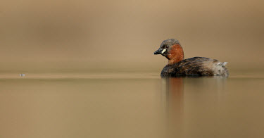 Little grebe - UK Lake,lakes,fresh water,Freshwater,blur,selective focus,blurry,depth of field,Shallow focus,blurred,soft focus,environment,ecosystem,Habitat,Aquatic,water,water body,Little grebe,Tachybaptus ruficollis