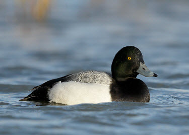 Greater scaup - UK Wetland,mire,muskeg,peatland,bog,environment,ecosystem,Habitat,Terrestrial,ground,eyes,Eye,eye colour,Portrait,face picture,face shot,face,blur,selective focus,blurry,depth of field,Shallow focus,blur
