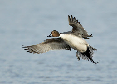 Northern pintail - UK blur,selective focus,blurry,depth of field,Shallow focus,blurred,soft focus,in-air,in flight,flight,in-flight,flap,Flying,fly,in air,flapping,environment,ecosystem,Habitat,action,movement,move,Moving,