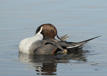Northern pintail - UK Northern pintail,Anas acuta,Birds,Swans,Ducks & Geese,Swans, Ducks & Geese,Northern Pintail,Aves,Ducks, Geese, Swans,Anatidae,Waterfowl,Anseriformes,Chordates,Chordata,Holarctic northern pintail,commo