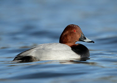 Common pochard - UK fresh water,Freshwater,blur,selective focus,blurry,depth of field,Shallow focus,blurred,soft focus,Lake,lakes,environment,ecosystem,Habitat,Aquatic,water,water body,Common pochard,Aythya ferina,Birds,