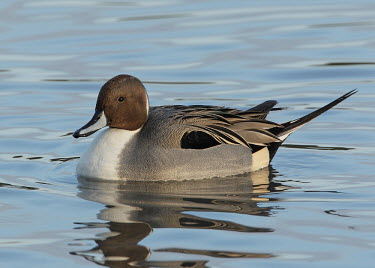 Northern pintail - UK blur,selective focus,blurry,depth of field,Shallow focus,blurred,soft focus,Aquatic,water,water body,fresh water,Freshwater,environment,ecosystem,Habitat,Lake,lakes,Northern pintail,Anas acuta,Birds,S