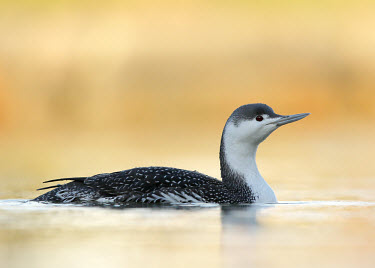 Red-throated diver - UK Red-throated diver,Red-throated loon,Animalia,Chordata,Aves,Gaviiformes,Gaviidae,Gavia stellata,Birds,Swans,Ducks & Geese,Swans, Ducks & Geese,Ciconiiformes,Herons Ibises Storks and Vultures,Loons,Cho