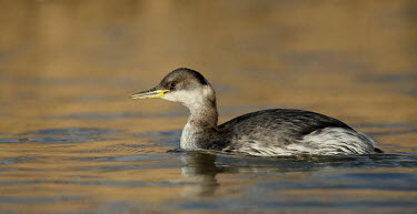 Red-necked grebe - UK Red-necked grebe,Podiceps grisegena,Birds,Swans,Ducks & Geese,Swans, Ducks & Geese,Red-necked Grebe,Aves,Podicipedidae,Grebes,Ciconiiformes,Herons Ibises Storks and Vultures,Chordates,Chordata,Podicip