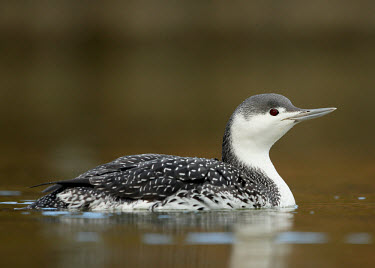 Red-throated diver - UK colours,color,colors,Colour,Black and White,black + white,monochrome,black & white,blur,selective focus,blurry,depth of field,Shallow focus,blurred,soft focus,coloration,Colouration,Red-throated diver