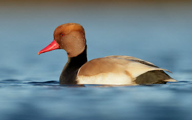 Red-crested pochard - UK colours,color,colors,Colour,eyes,Eye,Lake,lakes,coloration,Colouration,Red,Red eyes,Bill,bills,blur,selective focus,blurry,depth of field,Shallow focus,blurred,soft focus,rouge,scarlet,crimson,Mouth,m
