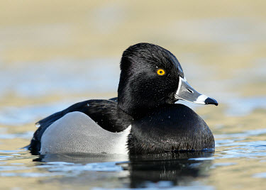 Ring-necked duck - UK Ring-necked duck,Animalia,Chordata,Aves,Anseriformes,Anatidae,Aythya collaris,Birds,Swans,Ducks & Geese,Swans, Ducks & Geese