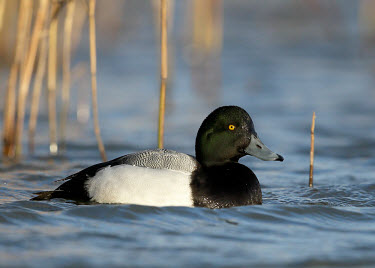 Greater scaup - UK Greater scaup,Aythya marila,Birds,Swans,Ducks & Geese,Swans, Ducks & Geese,Waterfowl,Anseriformes,Chordates,Chordata,Aves,Ducks, Geese, Swans,Anatidae,Scaup,Europe,Estuary,Brackish,Rock,Tundra,Asia,Om