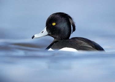 Tufted duck - UK Aquatic,water,water body,blur,selective focus,blurry,depth of field,Shallow focus,blurred,soft focus,Portrait,face picture,face shot,Lake,lakes,Terrestrial,ground,Wetland,mire,muskeg,peatland,bog,envi