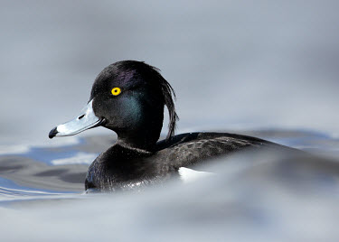 Tufted duck - UK blur,selective focus,blurry,depth of field,Shallow focus,blurred,soft focus,Portrait,face picture,face shot,Lake,lakes,Aquatic,water,water body,environment,ecosystem,Habitat,Wetland,mire,muskeg,peatla
