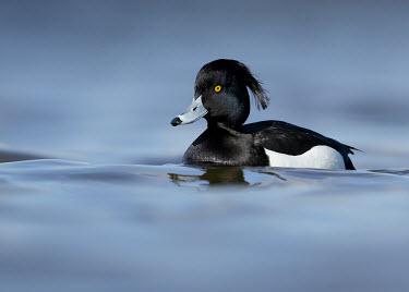 Tufted duck - UK Tufted duck,Aythya fuligula,Birds,Swans,Ducks & Geese,Swans, Ducks & Geese,Ducks, Geese, Swans,Anatidae,Aves,Waterfowl,Anseriformes,Chordates,Chordata,Fuligule morillon,fuligula,Animalia,Carnivorous,P
