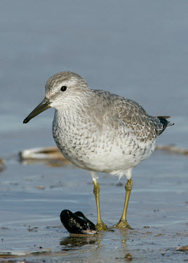 Red knot - UK Red knot,Calidris canutus,Birds,Waders,Chordates,Chordata,Ciconiiformes,Herons Ibises Storks and Vultures,Aves,Charadriiformes,Shorebirds and Terns,Sandpipers, Phalaropes,Scolopacidae,B�casseau maub�c